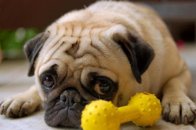 sindrome di cushing e perdita di peso nei cani